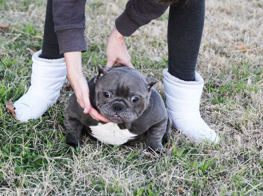 Exotic Bullies For Sale Toadline Bullies Exotic Bully