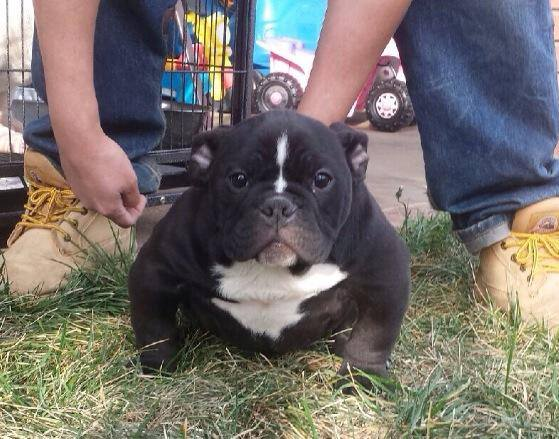 EXOTIC BULLIES FOR SALE TOADLINE BULLIES, EXOTIC BULLY